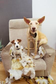 Twee hondenpuppy's die na het bijten en kauwen op een bank op heterdaad betrapt werden en hun schuld niet konden verbergen.