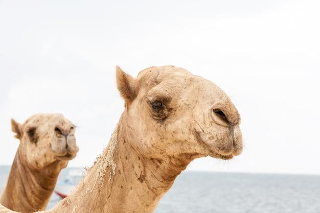Twee hoofden van kamelen op een achtergrond van de oceaan