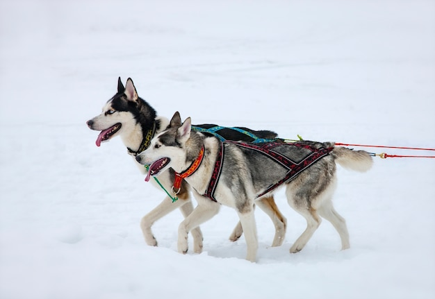 Twee husky-honden