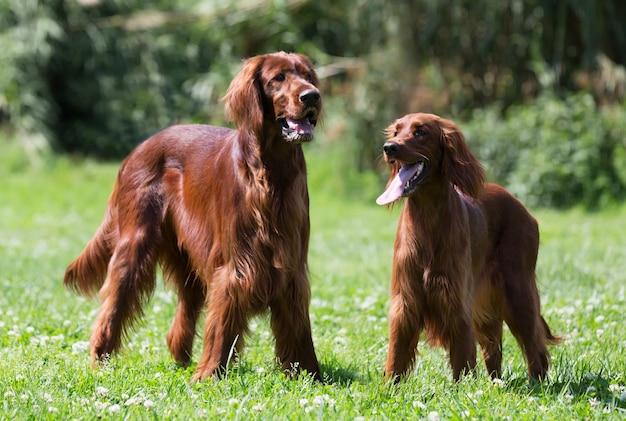 Twee ierse setters die zich op gras bevinden