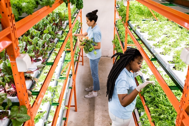 Twee interculturele vrouwelijke kasarbeiders die biologische selectie van groene zaailingen maken die op planken groeien