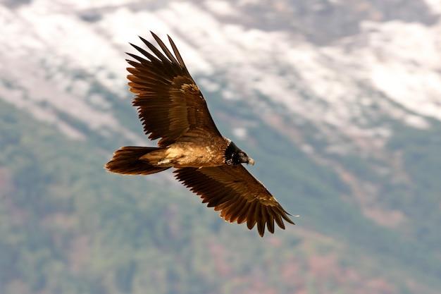 Twee jaar lammergeier vliegen, aaseter, gieren, vogels, valk, gypaetus barbatus
