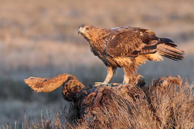 Twee jaar oude vrouw van bonelli's eagle