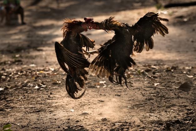 Twee jagershaan in de natuur arena vechten.