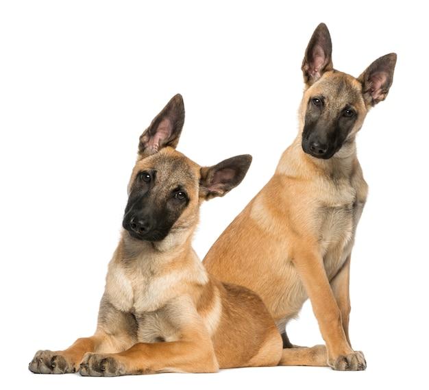 Twee jonge belgische herders zitten en liggen