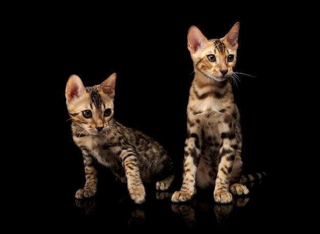 Twee jonge bengaalse rasechte katten op zwarte.