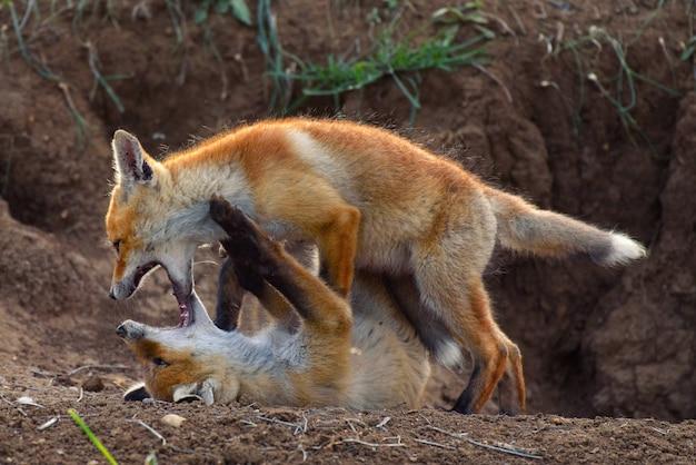 Twee jonge fox spelen in de buurt van zijn hol