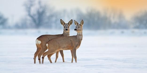 Twee jonge reeën die zich op sneeuw in de winter bevinden