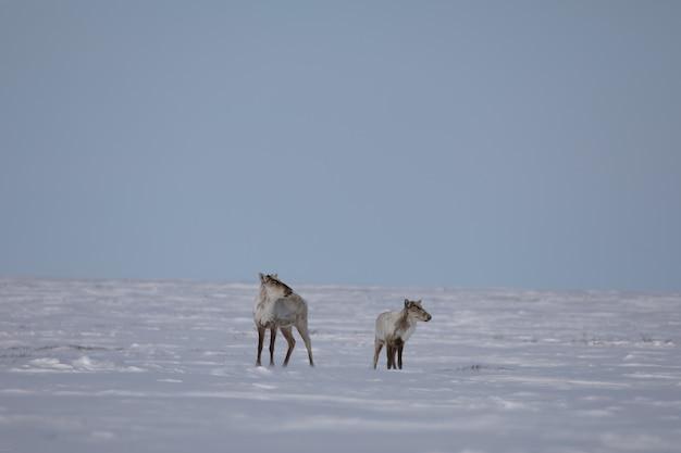 Twee kale kariboes gevonden in lentesneeuw
