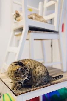 Twee kattenvrienden maine coon en calico-rassen die onder en hierboven op stoel zitten die door venster in huiswoonkamer kijken.