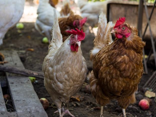 Twee kippen lopen rond het kippenhok en communiceren