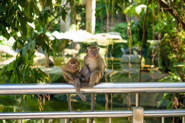 Twee kleine aapjes vangen vlooien terwijl ze op een hek zitten