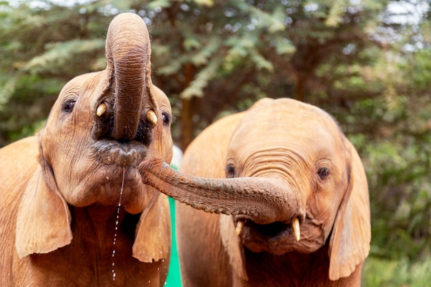 Twee kleine babyolifanten in een olifantenweeshuis in nairobi, kenia, afrika.