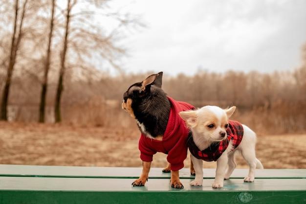 Twee kleine chihuahuahonden op bank. leuke huisdieren buitenshuis. chihuahuahonden op bankje in kleren.