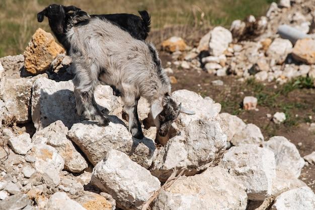 Twee kleine geiten lopen over de stenen