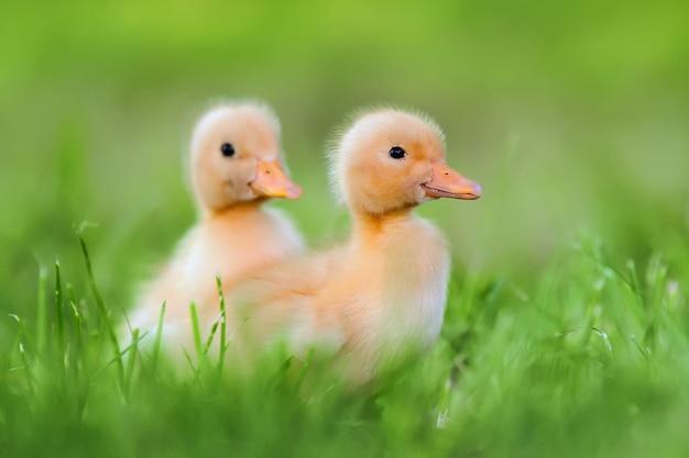 Twee kleine gele eendje op groen gras