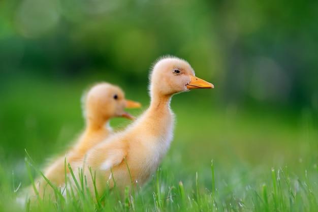 Twee kleine gele eendjes op groen gras