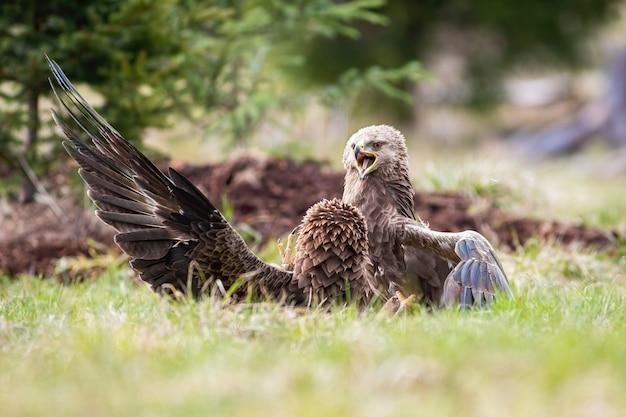 Twee kleine gevlekte adelaars clanga pomarina vechten om territorium in de zomer