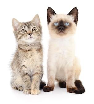 Twee kleine grijze kittens