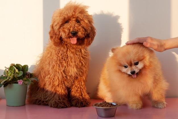 Twee kleine honden, een miniatuur poedel van roodbruine kleur en een pommeren van oranje kleur, zitten naast een ijzeren kom met droog hondenvoer. een hand streelt de pommeren op het hoofd.