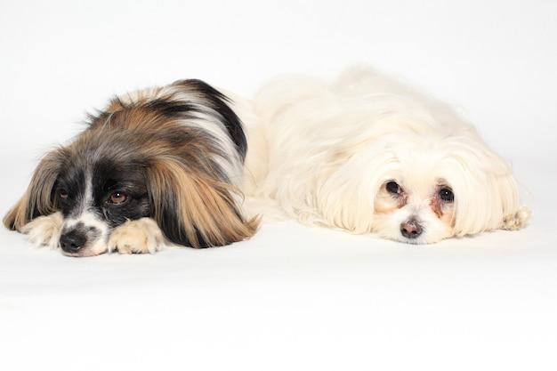 Twee kleine honden liegen
