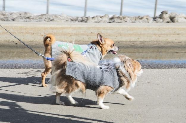 Twee kleine honden voor een wandeling in het park gekleed in warme gebreide kleding.