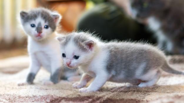 Twee kleine katjes in de kamer zetten de eerste stapjes