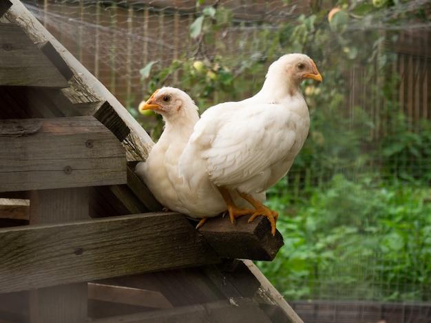 Twee kleine kippen zitten op het kippenhok close-up