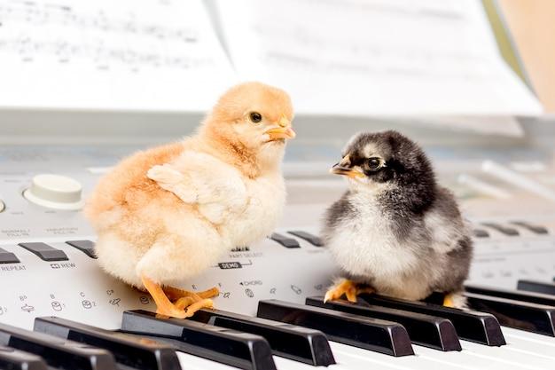 Twee kleine kuikens op de pianotoetsen