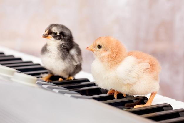 Twee kleine kuikens op de toetsen van de piano. de eerste stappen in muziek. leren op een muziekschool. concert van jonge artiesten