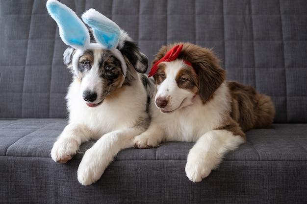 Twee kleine leuke grappige schattige australische herder blauwe merle puppy hondje konijn oren dragen. rode strik. pasen.