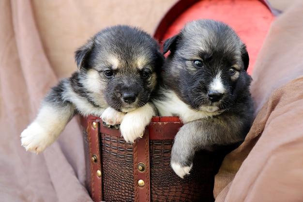 Twee kleine puppy's in een geschenkdoos