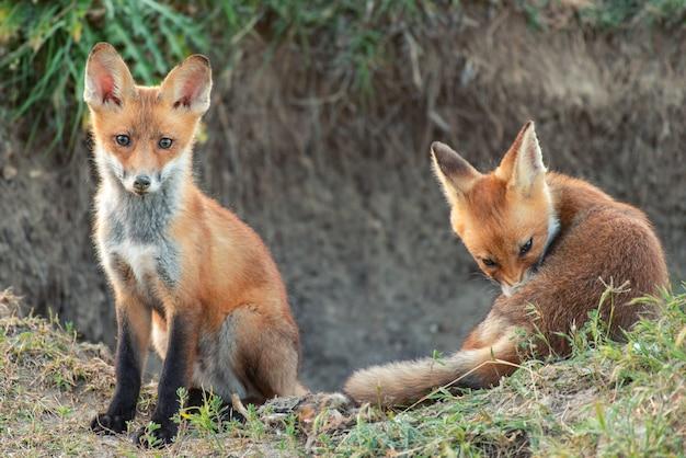 Twee kleine rode vos bij zijn hol.