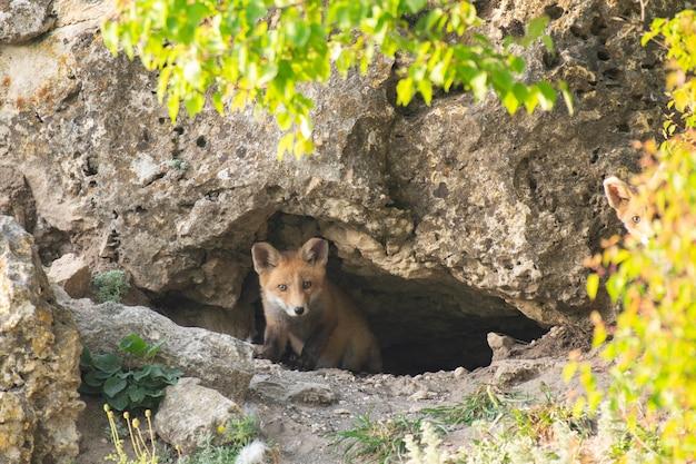 Twee kleine rode vos bij zijn hol