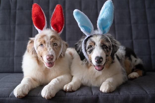 Twee kleine schattige australische herder rode merle puppy hondje konijn oren dragen. pasen. liggend op grijze banklaag. blauwe ogen. bruine ogen.