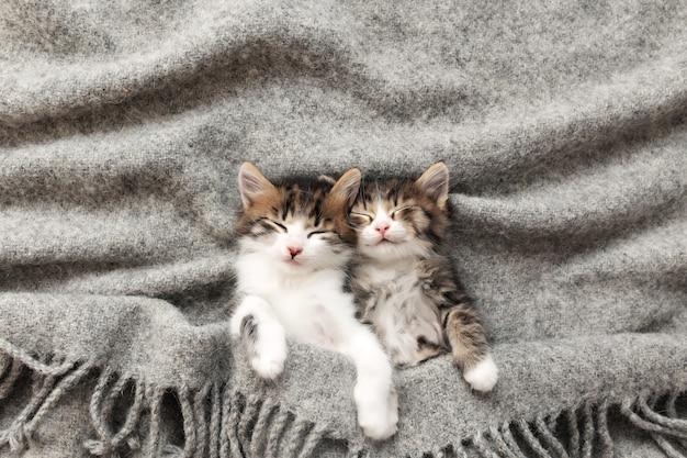 Twee kleine schattige driekleurige kittens slapen met gesloten ogen en liggen bedekt met een grijze pluizige deken. foto van ontspannen slapende katten die ondersteboven liggen. concept van gezond en gelukkig gezelschapsdier