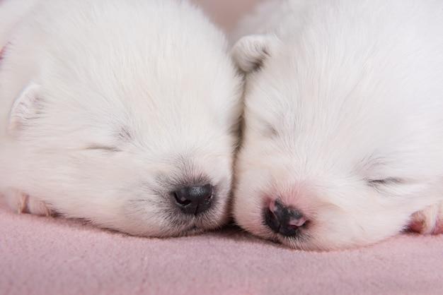 Twee kleine schattige witte samojeed-puppy's van twee weken slapen slapen
