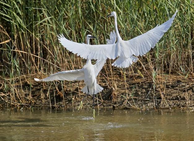 Twee kleine witte reigers vechten in de lucht voor een plek om te jagen