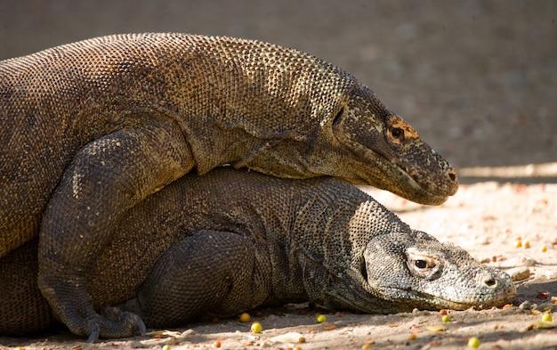 Twee komodovaranen vechten om een stuk voedsel. indonesië. komodo nationaal park.