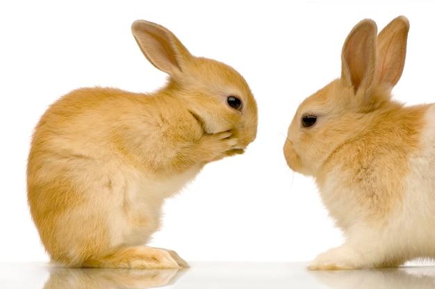 Twee konijnen geïsoleerd