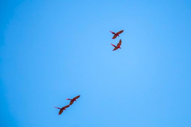 Twee koppels ara's vliegen in de tempels van copan ruinas Premium Foto