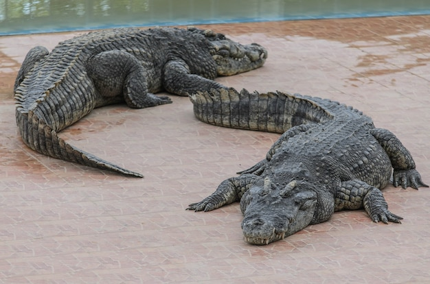 Twee krokodillen kropen over de vloer van de boerderij.