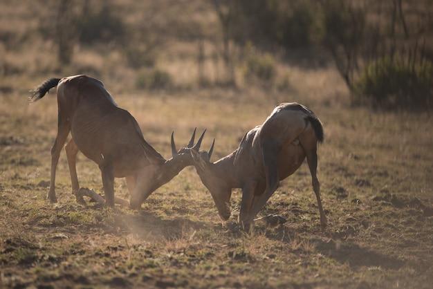 Twee kudu's die hoofd aan hoofd met vage achtergrond vechten