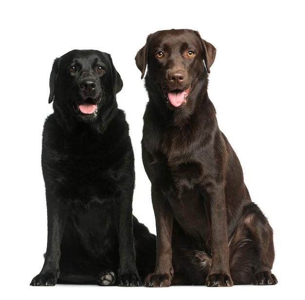 Twee labradors die voor een witte muur zitten