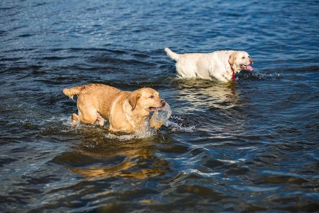 Twee labradors op het strand. twee gelukkige honden spelen op de oever van de rivier