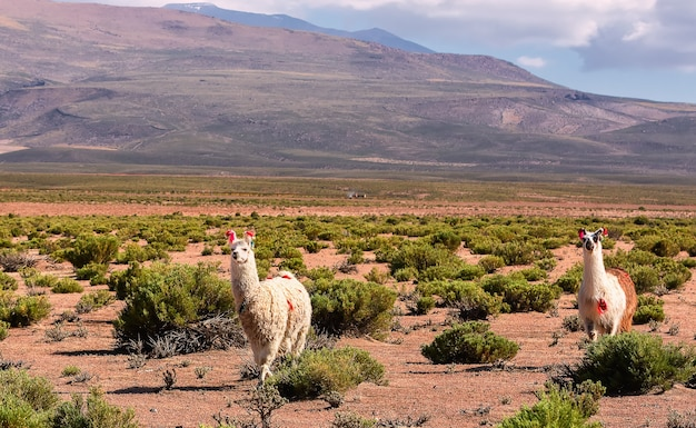 Twee lama's lopen in de vallei bij de berg. bolivia, andes. altiplano, zuid-amerika