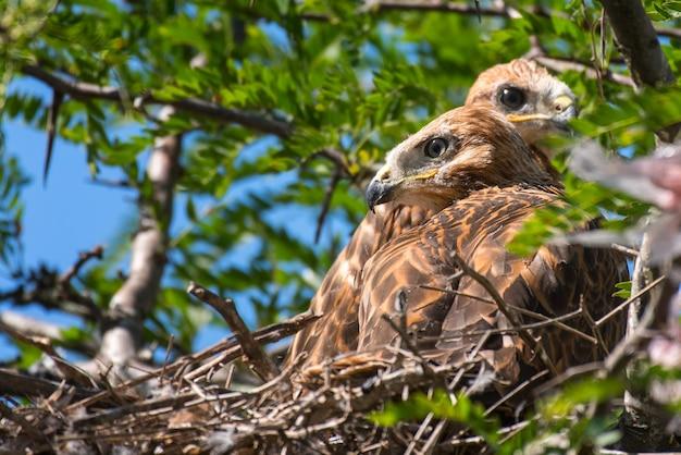 Twee langbenige buizerd (buteo rufinus) genesteld in nest.