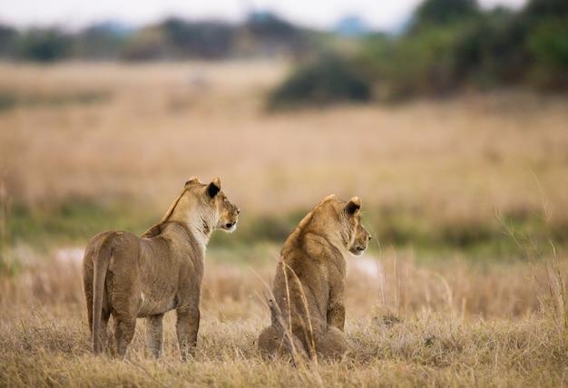 Twee leeuwinnen liggen op de heuvel