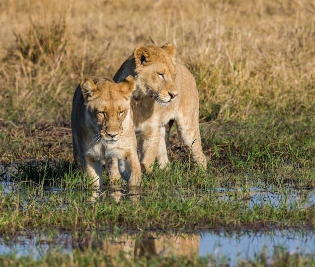Twee leeuwinnen passeren het moeras in een doorwaadbare plaats