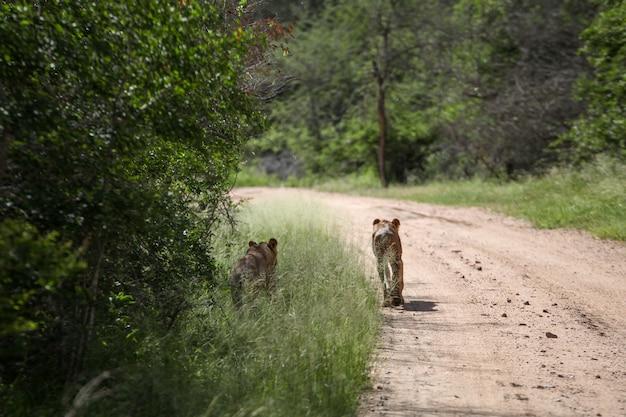Twee leeuwinnen staan op de weg